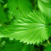 Detoxify Your Body With Stinging Nettle