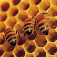 Honey – A Teaspoon a Day of This Tasty Antibiotic